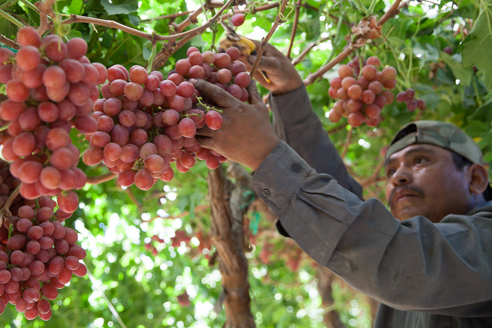 Field Worker Picking Red Grapes